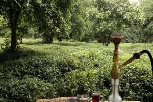 باغات چای